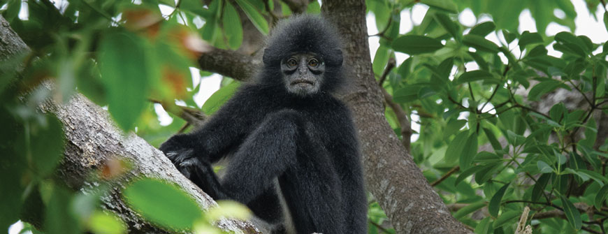 THE BORNEAN BANDED LANGUR