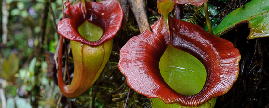 CLONING THE PITCHER PLANT