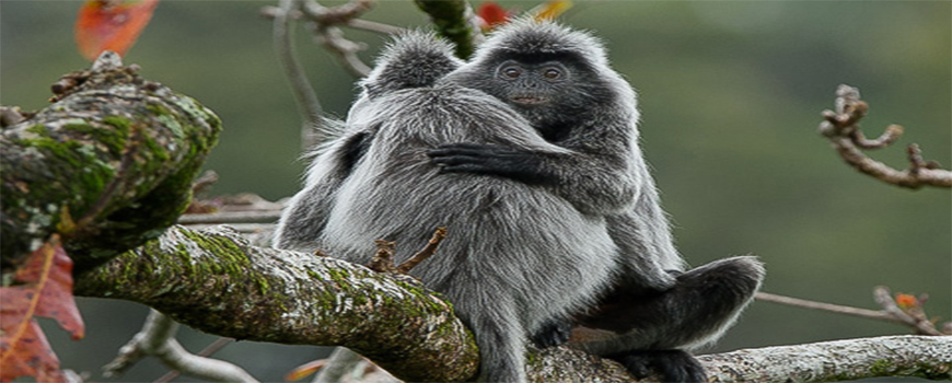 BORNEO INSIGHTS: SILVERED LEAF MONKEYS
